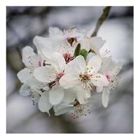 sliva-tresnova-cherry-plum.jpg